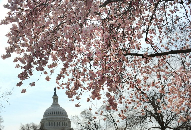 April 8, 2013: Cherry blossoms bloom on the edge of the U.S. Capitol after a colder than normal March and chilly April delayed the beginning of the cherry blossom season in the nation's capital. (Olivier Douliery/Abaca Press/MCT)