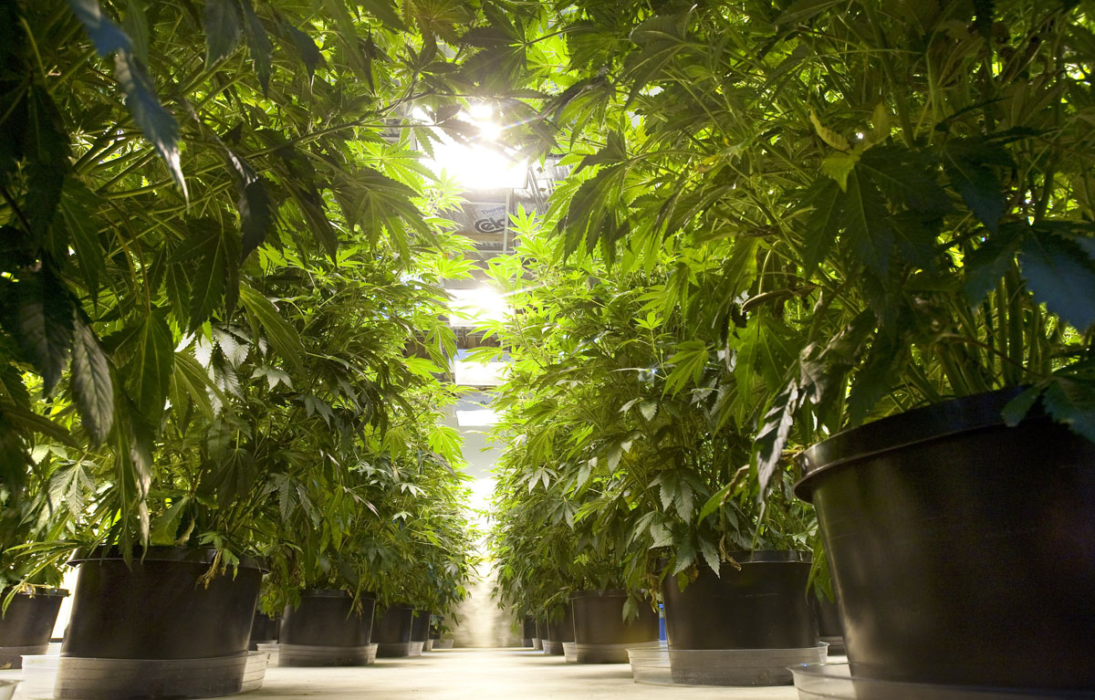 Marijuana plants thrive in a seattle dispensary where pot is grown and