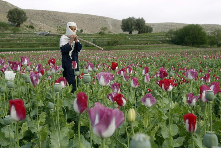 A boy works at a poppy field in Jalalabad province in this file photo taken April 7, 2013. Opium cultivation in Afghanistan is expected to increase for the third year in a row and is at a higher level than during Taliban rule despite efforts by the government and international forces to combat the trade, a U.N. report said on Monday. (Parwiz/Reuters Files)