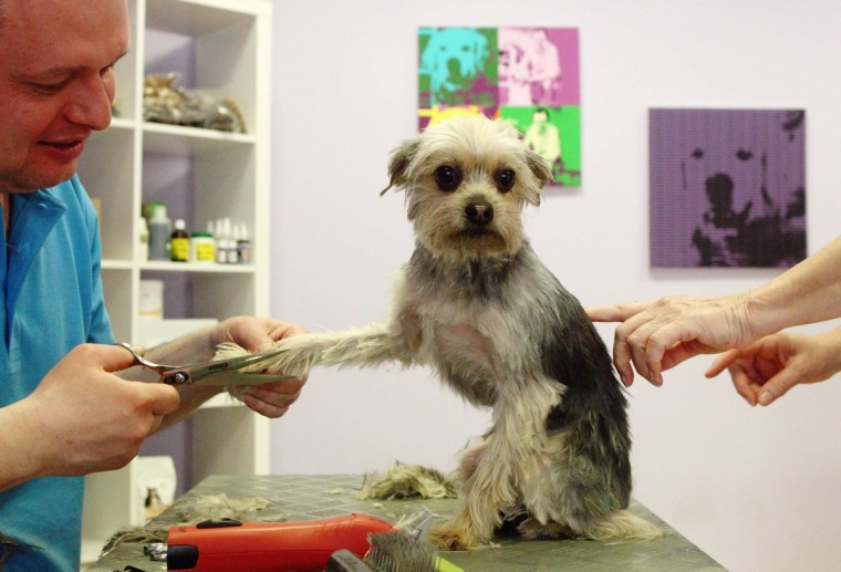 "Alexander Hysek trims Yorkshire Terrier ""Puppi"" on a social day in his dog grooming salon ""The dog care company"" in Vienna. Hysek offered this day to treat dogs for free in cooperation with Vienna's ""neunerhaus"", a charity organisation helping homeless people improving their situation. (Heinz-Peter Bader/Reuters photo)"