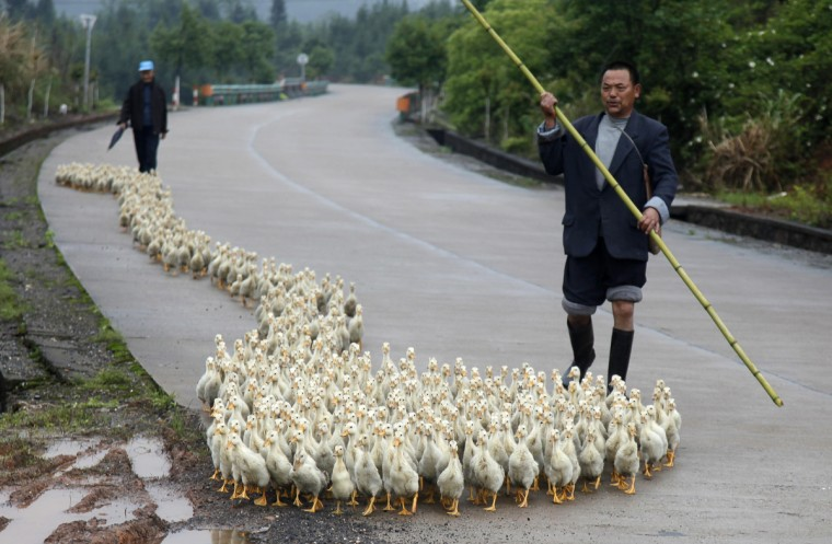 A breeder, whose business has been affected by the H7N9 bird flu virus, walks his ducks along a road in Changzhou county, Shandong province. A dropoff in Chinese demand for soybeans used to feed poultry and livestock could last for months, as consumers lose their appetite for poultry in response to a deadly bird flu virus outbreak and amid lingering images of rotting pig carcasses floating in a river. (Reuters photo)