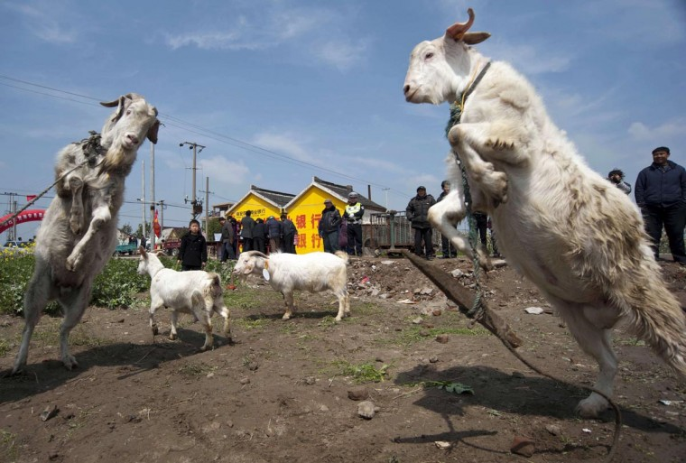 Goats fight during an annual gathering held for farmers in Haian county, Jiangsu province April 6, 2013. (Stringer/Reuters)