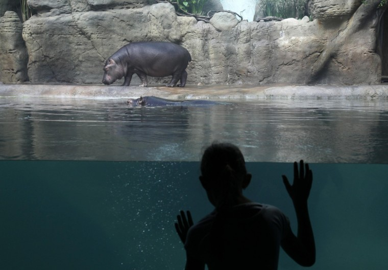 A visitor looks at two-year-old hippo Valecek walking outside a swimming pool at the recently open enclosure in Prague Zoo. (Petr Josek/Reuters)