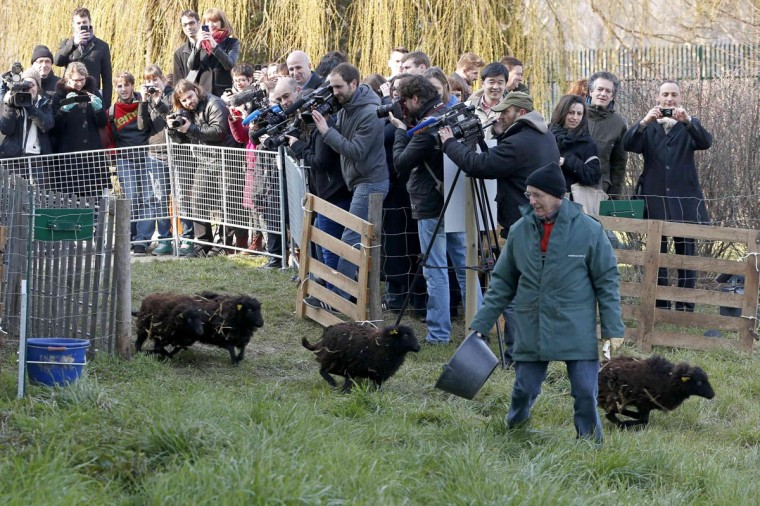 Journalists shoot the arrival of four sheep for the launching of an 'eco-grazing' experiment with a group of Ouessant sheep in a 2000m' green space owned by the French capitalís archives service, in the 19th district in Paris April 3, 2013. The goal of the experiment is for sheep to graze at intervals until autumn on the parcel of land and to maintain it without weed-killers. (Charles Platiau/Reuters)