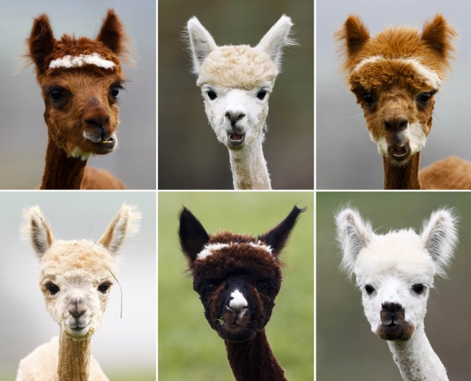 A combination of six pictures shows freshly shorn alpacas in the village of Winklarn near Regensburg. The alpacas are always shorn in spring, to make the animals more comfortable for the summer months and to collect the expensive and well known alpaca wool. (Michaela Rehle/Reuters)