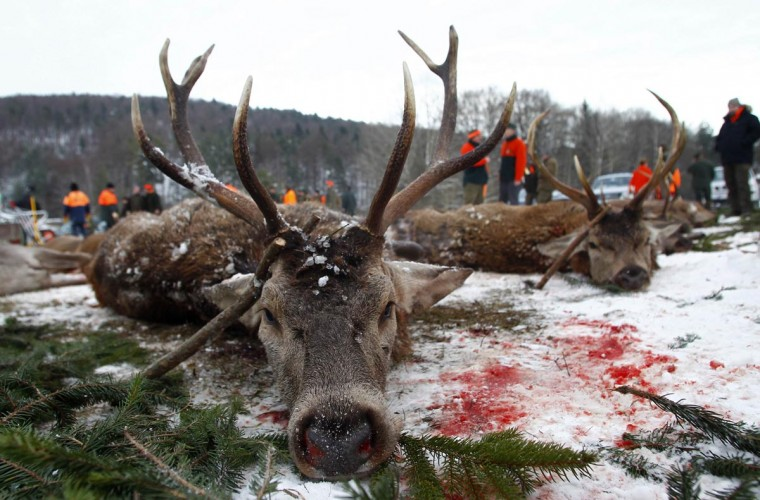 Wild game of deer is arranged in a line at a demonstration place called 'Streckenplatz' after a driven hunt event at a U.S. military training area in Hohenfels near Regensburg December 14, 2012. The hunt takes place during the closed season for hunting game at one of Germany's biggest military training ground on about 16,000 hectares. Picture taken December 14, 2012. (Michaela Rehle/Reuters)