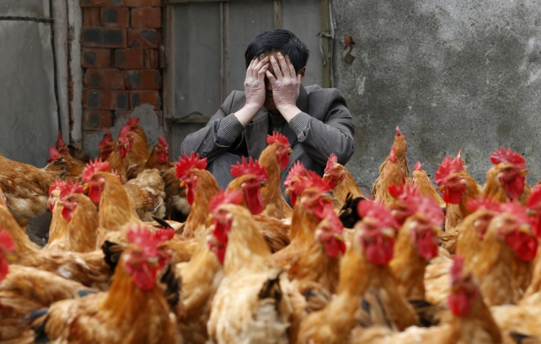 A breeder covers his face as he sits behind his chickens, which according to the breeder are not infected with the H7N9 virus, in Yuxin township, Zhejiang province. According to chicken breeders, their businesses are strongly affected as all six local poultry markets in Yuxin are closed for preventing the transmission of the H7N9 virus. Nine people have died out of 33 confirmed cases of the virus, all in eastern China. (William Hong/Reuters)