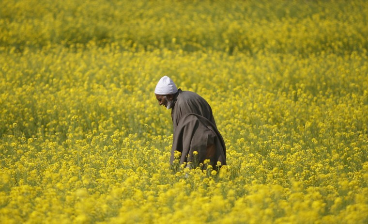 A Kashmiri man walks through a mustard field on the outskirts of Srinagar. Mustard or rapeseed is the main oilseed crop of India, the world's biggest importer of vegetable oils, during the winter season. (Danish Ismail/Reuters photo)