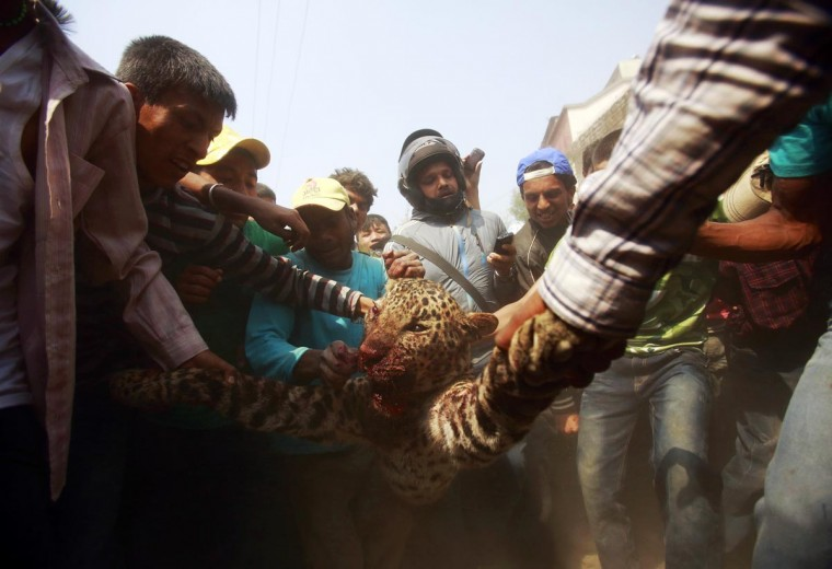 Locals carry a dead leopard which was killed after wandering into the town in Kathmandu April 10, 2013. The leopard attacked and injured 15 people including 3 policemen before it was killed, according to local media. (Navesh Chitrakar/Reuters)