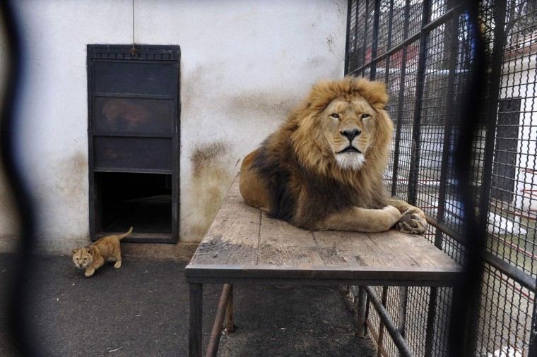 Tarzan, a 9-year-old lion, and Hera, one of his two female cubs, rest in Onesti, 166 miles northeast of Bucharest in this March 4, 2013 picture released on April 10, 2013. Four Paws Animal Welfare Foundation transferred lion cubs Hera and Sara, their two parents and two tigers from a zoo in Onesti to Lionsock Big Cat Sanctuary in South Africa after the zoo was closed down. More than 100 felines from around the world like lions, tigers, cheetahs or caracals that were originally from zoos, circuses or kept in illegal captivity are hosted and cared for by Four Paws in their 1,242-hectare sanctuary. (Mihai Vasile/Four Paws/Handout via Reuters)