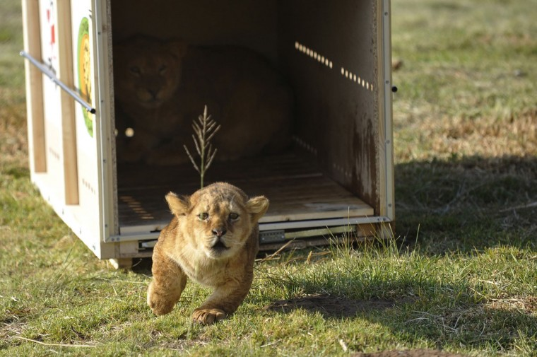 Hera, a six-month-old lion cub, runs out of a cage as it is released at Lionsrock Big Cat Sanctuary April 11, 2013. Four Paws Animal Welfare Foundation transferred 4 lions and 2 tigers from a zoo in Onesti, Romania to Lionsock Big Cat Sanctuary in South Africa after the zoo was closed down. More than 100 felines from around the world like lions, tigers, cheetahs or caracals that were originally from zoos, circuses or kept in illegal captivity are hosted and cared for by Four Paws in their 1,242-hectare sanctuary. (Mihai Vasile/Four Paws/Handout/Reuters)