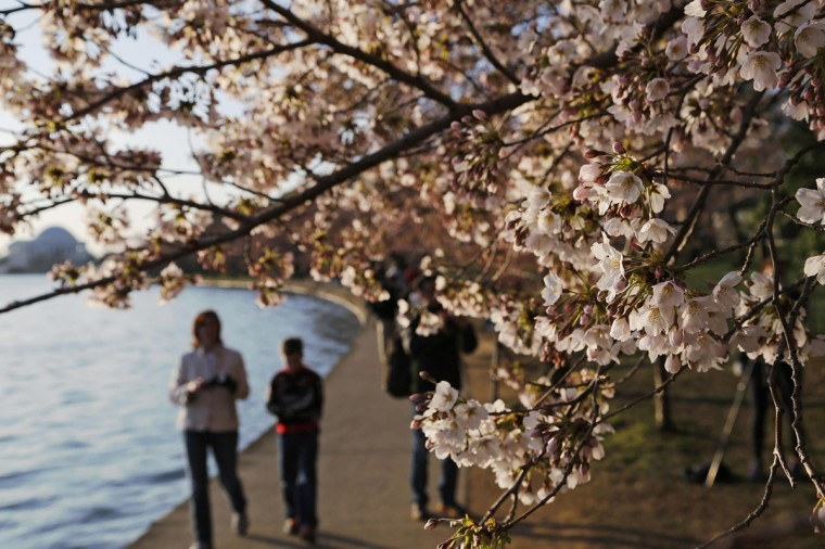 April 7, 2013: People walk under cherry blossoms along the Tidal Basin in Washington. (Jonathan Ernst/Reuters)