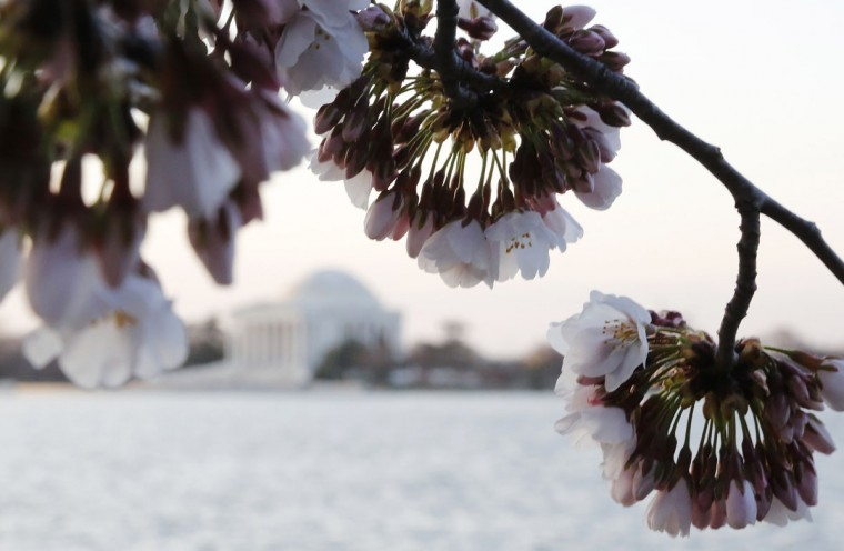 April 7, 2013: Cherry trees blossom across from the Thomas Jefferson Memorial at the Tidal Basin in Washington. (Jonathan Ernst/Reuters)