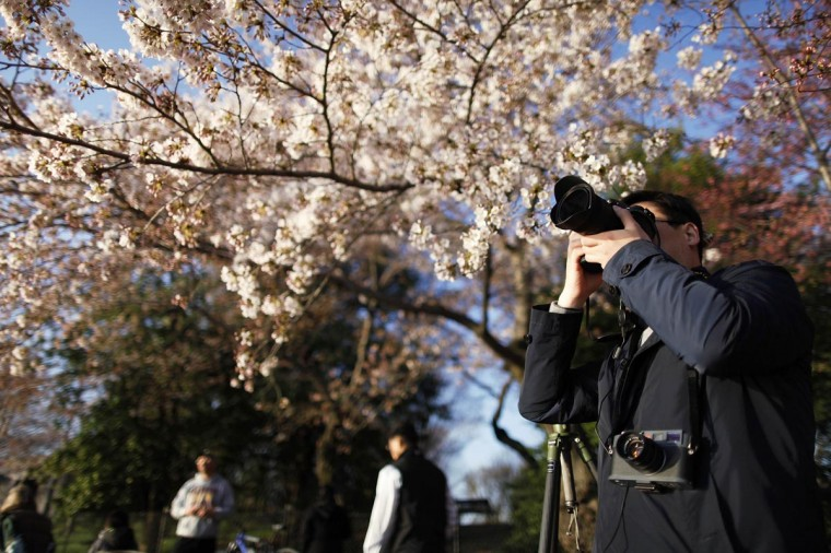 A man takes pictures of cherry blossoms along the Tidal Basin in Washington, April 7, 2013. Washington's celebrated cherry trees, which have been slow to bloom in 2013 due to a colder-than-normal springtime, originated as a gift of friendship from the people of Japan in 1912. (Jonathan Ernst/Reuters)