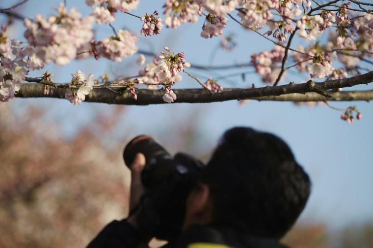 April 7, 2013: A man photographs cherry blossoms along the Tidal Basin in Washington. (Jonathan Ernst/Reuters)