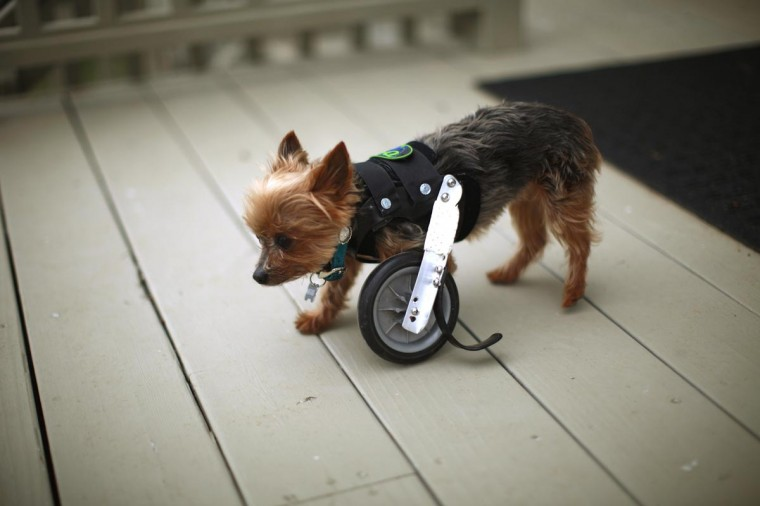A Yorkshire Terrier named Hope shows off her uni-wheel attached to a doggie vest in Longmont, Colorado April 21, 2013. Hope is missing one limb and is able to walk with the wheel attachment. (Rick Wilking/Reuters)