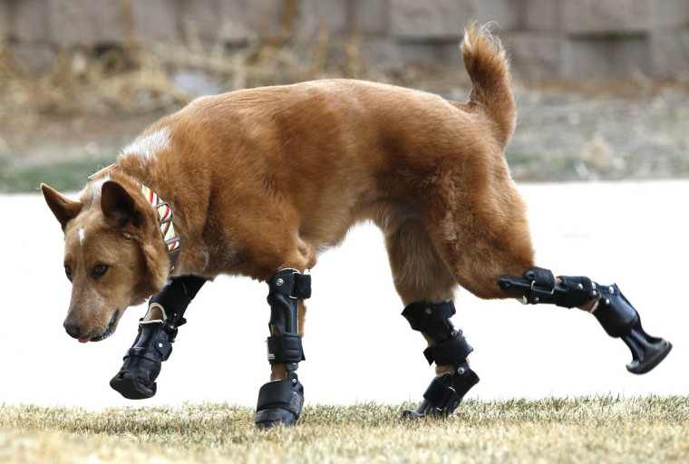 Naki'o, a mixed-breed dog with four prosthetic devices, goes for a run in Colorado Springs April 12, 2013. Naki'o lost all four feet to frostbite when he was abandoned as a puppy in a foreclosed home. Picture taken April 12, 2013. (Rick Wilking/Reuters)