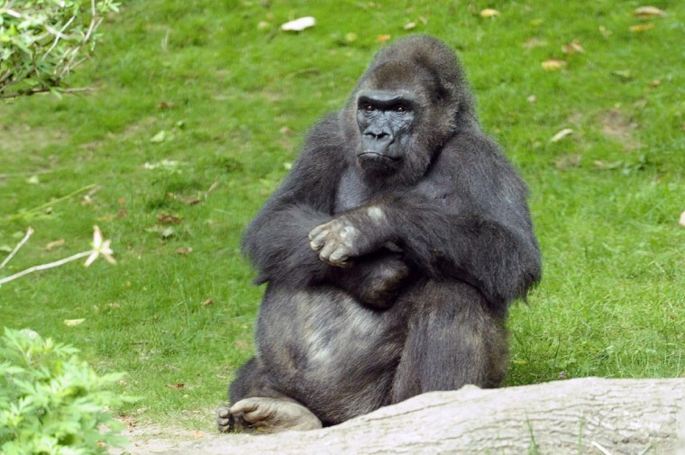 Pattycake, the first gorilla born in New York City, sits in the Wildlife Conservation Societyís Bronx Zoo, as pictured in this undated handout photo. Pattycake was under medical care due to her advanced age and was being treated for chronic cardiac issues, when she died Sunday March 31, 2013. (Julie Larsen Maher/Bronx Zoo/Handout via Reuters)