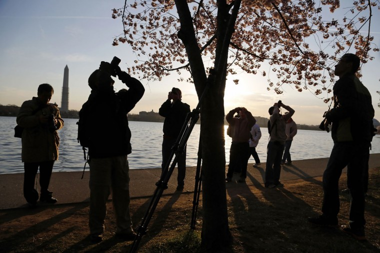 April 7, 2013: People photograph one of the few trees displaying a large number of fully-opened cherry blossoms along the Tidal Basin in Washington. (Jonathan Ernst/Reuters)