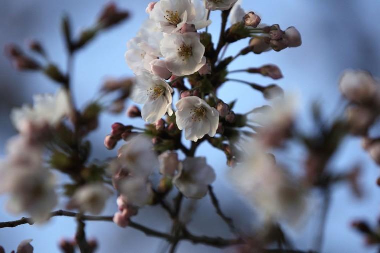 April 7, 2013: Cherry trees blossom along the Tidal Basin in Washington. (Jonathan Ernst/Reuters)