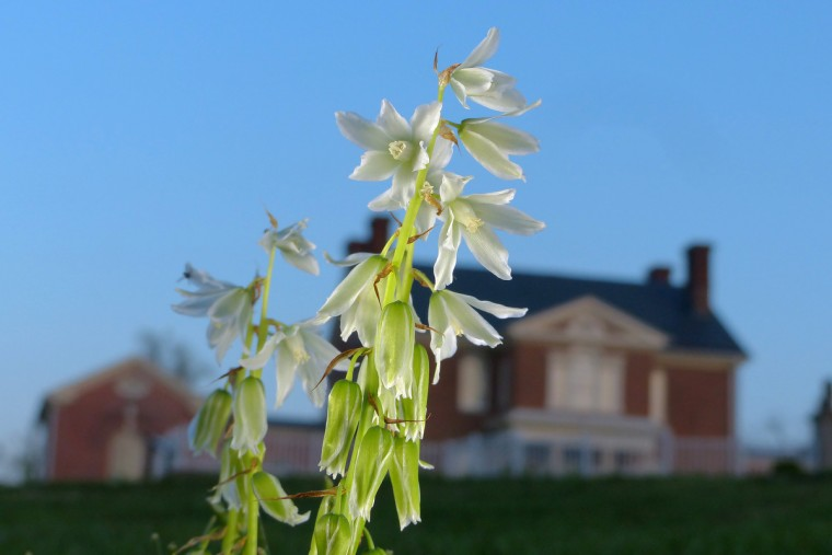 Blooms that appear to be Hosta flowers next to Carroll Mansion at dusk for springtime greenery in the Baltimore area Tuesday, Apr. 23, 2013. (Karl Merton Ferron/Baltimore Sun Staff)