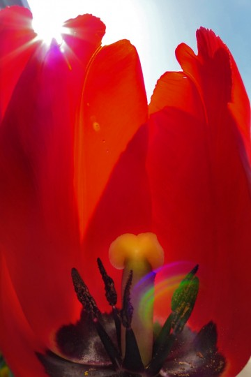 A tulip flower's petals on Schilling Circle are the backdrop for its stamens, which surround the pistil as the sun peeks from above. Springtime flora and fauna in the Baltimore area Tuesday, Apr. 23, 2013. (Karl Merton Ferron/Baltimore Sun Staff)