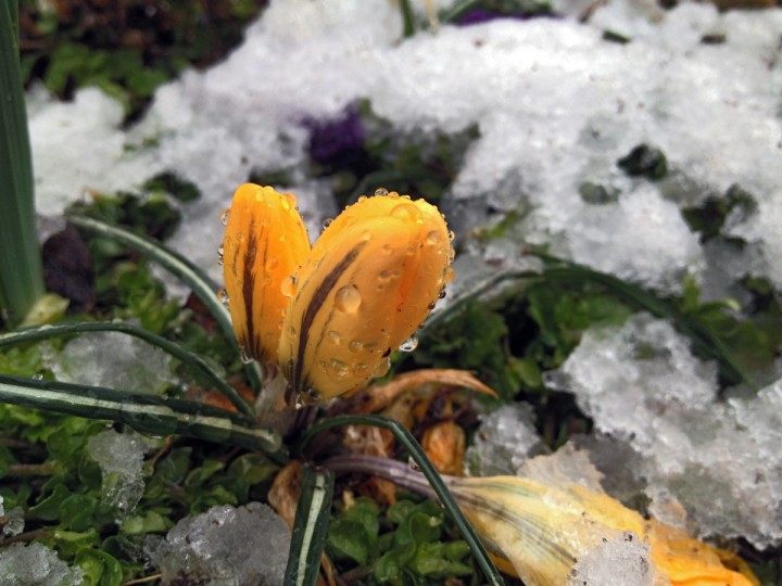 Crocuses stand as snow melts on their petals after an eartly spring snow on Vine Street for springtime greenery in the Baltimore area Monday, March. 25, 2013. (Karl Merton Ferron/Baltimore Sun Staff)