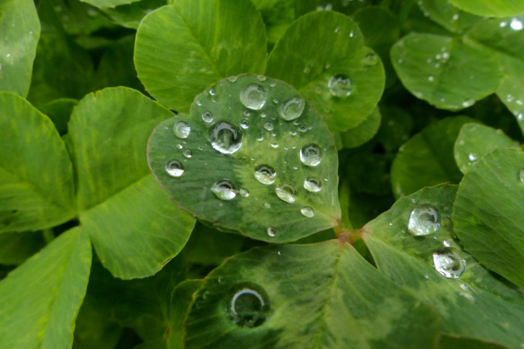 Morning dew on clovers. Springtime flora and fauna in the Baltimore area Thursday, Apr. 18, 2013. (Karl Merton Ferron/Baltimore Sun Staff)