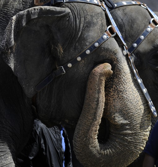 "An elephant uses its trunk to rub its eye at the 30th annual ""elephant brunch"" outside Lexington Market. (Barbara Haddock Taylor/Baltimore Sun)"