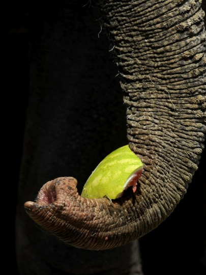 "An elephant's trunk holds a piece of watermelon at the 30th annual ""elephant brunch"" outside Lexington Market. (Barbara Haddock Taylor/Baltimore Sun)"