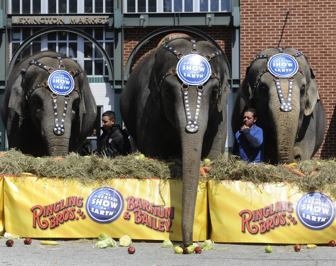"One of the elephants at the 30th annual ""elephant brunch"" outside Lexington Market preferred the snacks in front of the table, instead of what was on top. (Barbara Haddock Taylor/Baltimore Sun)"