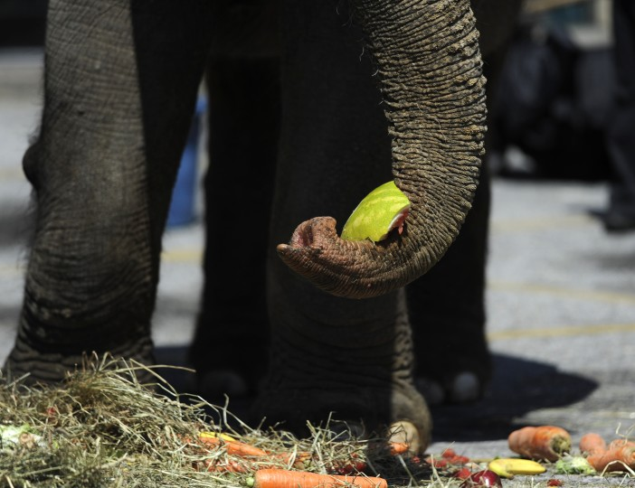 "An elephant grabs a piece of watermelon at the 30th annual ""elephant brunch"" outside Lexington Market. (Barbara Haddock Taylor/Baltimore Sun)"