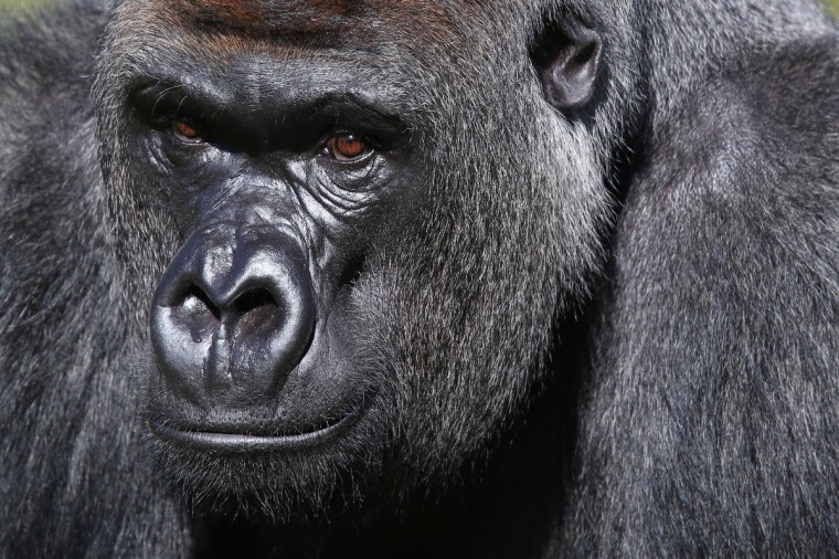 Kumbuka, a 15-year-old western lowland gorilla, explores his new enclosure in ZSL London Zoo in London, England. The silverback male, who weights 185 kg and stands seven foot tall, moved from Paignton Zoo two weeks ago. It is hoped that Kumbuka will mate with the zoo's three female gorillas to increase numbers of the critically endangered species as part of the European breeding program. (Oli Scarff/Getty Images)
