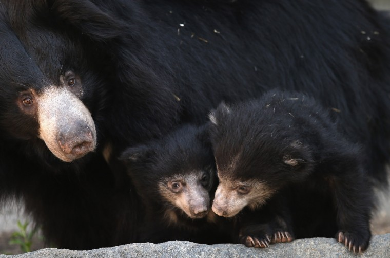 Hani, a 10-year-old sloth bear, wanders her enclosure with her two cubs at the Brookfield Zoo in Brookfield, Illinois. The cubs, which have been held in a maternity den since their birth on January 20, were making their public debut today at the zoo. (Scott Olson/Getty Images)