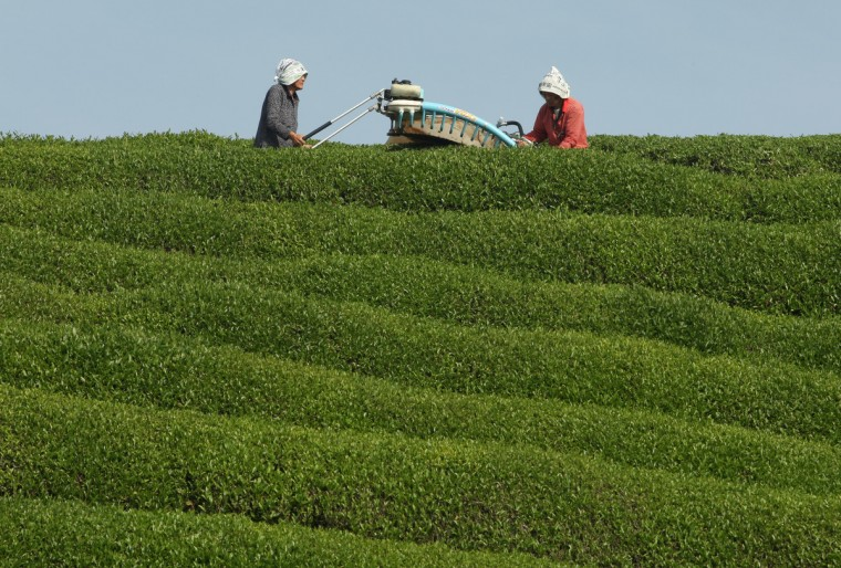 80-year-old Japanese woman Yaeko Asada (L) and Shigeharu Asada harvest fresh green tea leaves at a tea farm in the hills of Ujitawara in Japan. Green tea is cultivated in various regions of Japan, the second largest green tea producer in the world . The Uji area is one of the most famous tea field growing regions in Western Japan and is now in the heavest season. (Buddhika Weerasinghe/Getty Images)
