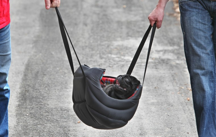 A pug dog is being carried in a bag near Hohenschwangau, southern Germany. (Karl-Josef Hildenbrand/KGetty Images)