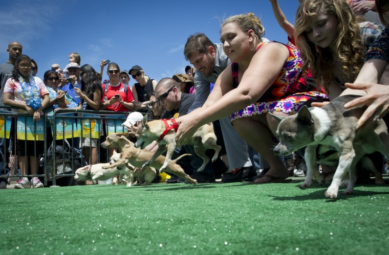 "Chihuahua dog owners release their pets to compete in the ""Run of the Chihuahuas"" annual race in Washington. The annual Chihuahua race marks the Mexican holiday Cinco de Mayo. (Mladen Antonov/AFP/Getty Images)"