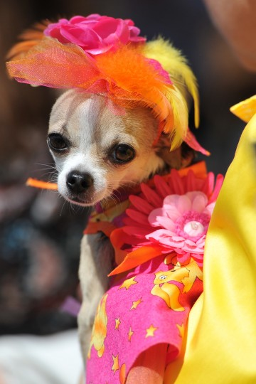 "A Chihuahua dog owner presents her dressed up pet during the ""Run of the Chihuahuas"" annual race in Washington. The annual Chihuahua race marks the Mexican holiday Cinco de Mayo. (Mladen Antonov/AFP/Getty Images)"