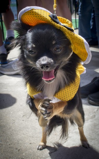 """A dressed up Chihuahua dog poses during the """"Run of the Chihuahuas"""" annual race in Washington. (Mladen Antonov/AFP/Getty Images)"""