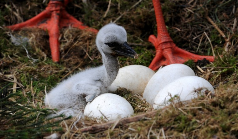 A stork chick sits next to eggs in a nest at an animal park in Eekholt, northern Germany. (Carsten Rehder/Getty Images)