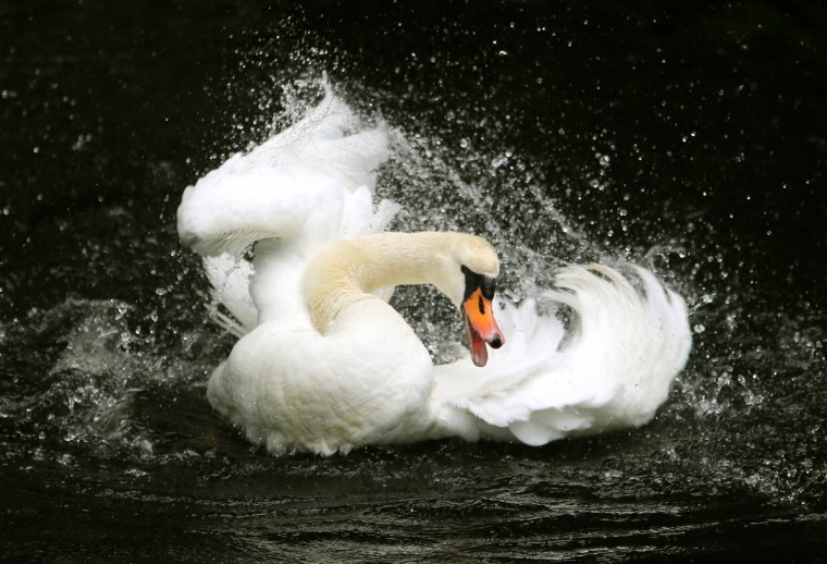 A swan swims on a pond at the Palace park in Moers, western Germany. (Roland Weihrauch/ Getty Images)