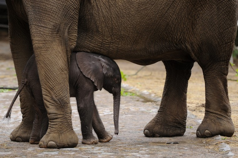 "Baby elephant ""Moyo"" stands next to his mother ""Sabie"" during his first outing at the zoo in Wuppertal, western Germany. ""Moyo"" was born on May 13, 2013 at the zoo. (Marius Becker/Getty Images)"