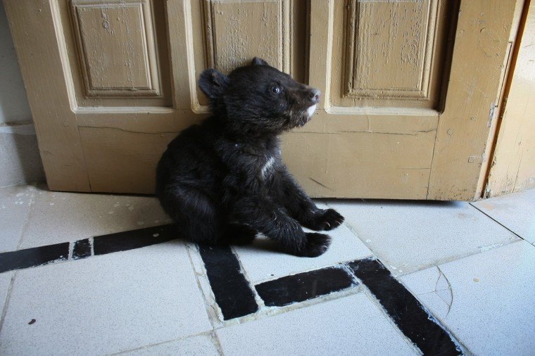A 45-day old female black bear cub sits by the door at a Pakistani wildlife office in Mansehra, after the animal was found by children playing in the fringes of a town near the dense forest of Kaghan Valley in North West Pakistan and brought to the wildlife office. According to officials there the bear will be kept at a wildlife facililty until it is old enough to be released back into the wild. (Adnan Ali/Getty Images)