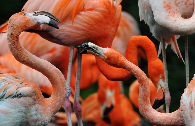Flamingos can be seen in their enclosure at the zoo in Dresden, eastern Germany. (Matthias Hiekel/Getty Images)