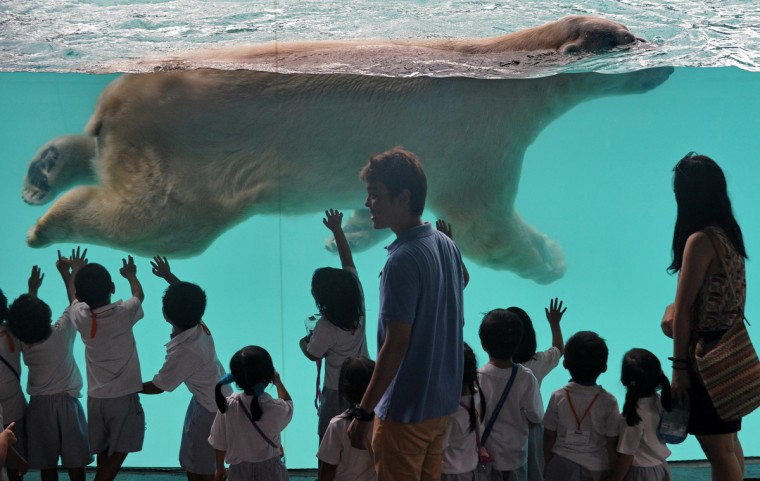 "Schoolchildren watch as ""Inuka"", a male polar bear, swims in its pool enclosure at the Singapore Zoo. The 22-year-old polar bear, the first one born in the tropics, moved into his new frozen tundra home on May 29 in a 2,700 square metre exhibit featuring climate controlled resting areas and an expanded pool. (Roslan Rahman/Getty Images)"