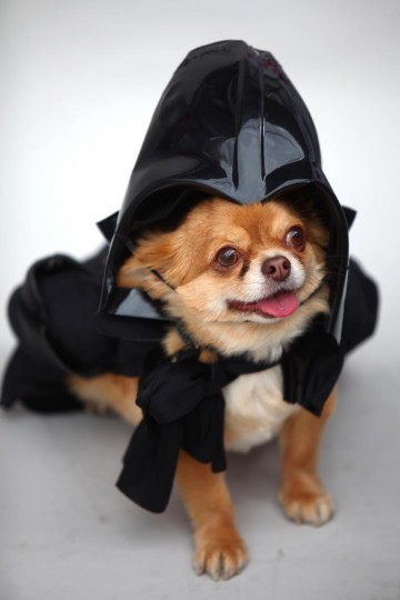 Harvey, a long-haired Chihuahua is dressed up as the character Darth Vader from the film Star Wars on May 5, 2013 in London, England. Enthusiasts gathered at the Picture House in Stratford to parade their dogs dressed up as famous Sci-Fi characters as part a London-wide event called Sci-Fi London. (Jordan Mansfield/Getty Images)