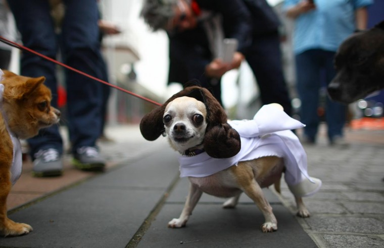 Betty, a Teacup Chihuahua is dressed up as the character Princess Leia from the film Star Wars on May 5, 2013 in London, England. Enthusiasts gathered at the Picture House in Stratford to parade their dogs dressed up as famous Sci-Fi characters as part a London-wide event called Sci-Fi London. (Jordan Mansfield/Getty Images)