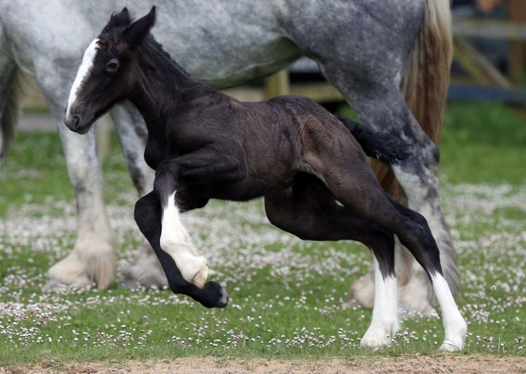 """A week old shire horse foal runs around her mother Orla at Cornwall's Crealy Adventure Park near Wadebridge, England. Once a common sight in the UK, shire horses are now classed as """"at risk"""" by the Rare Breed Survival Trust. The yet-to-be-named filly foal, bred in a breeding programme by the adventure park as part of a endangered species prtotection project, will be one of less than 300 predicted to be born in the country this year. (Matt Cardy/Getty Images)"""
