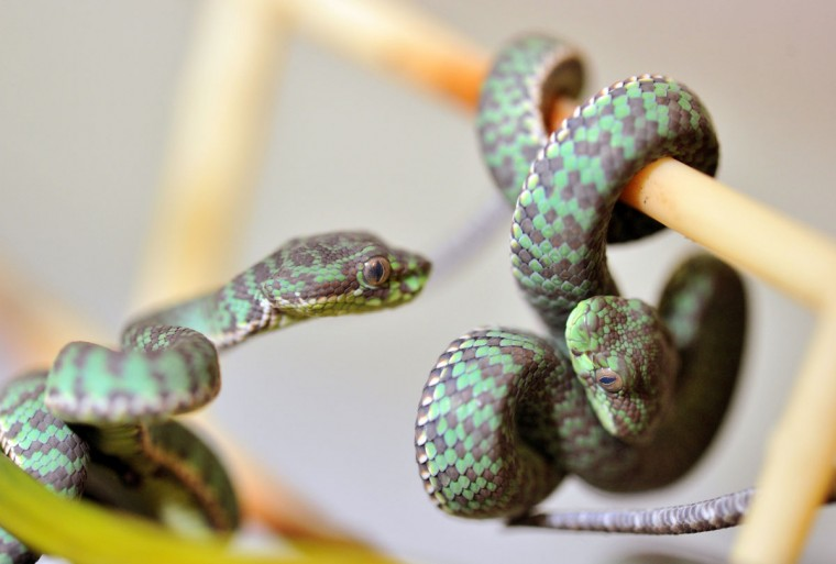 Kanburi pit viper snakes are on display at the Natural Historyu museum in Karlsruhe, southern Geramany. The snakes, 12 altogether, were born on May 9, 2013 at the museum. (Uli Deck/AFP/Getty Images ORG)