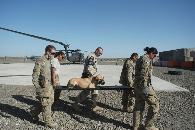 US soldiers from the 10th Combat Aviation Brigade and a Polish soldier (C) carry a dog on a stretcher from a UH-60 Black Hawk medevac helicopter during a training drill at Forward Operating Base Ghazni. US-led coalition forces are winding down their operations before a scheduled withdrawal of the bulk of their 100,000 troops by the end of 2014, and racing to prepare Afghan forces to take over responsibility for security. (Dibyangshu Sarkar/AFP/Getty Images)